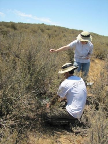 Interns measure plots of California sagebrush that have been injected with various levels of nitrogen as part of a three-year study to learn how air pollution is impacting native plants and fire risk. Photo: National Park Service