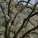 Valley Oaks are among the natural wonders in the San Joaquin Valley.