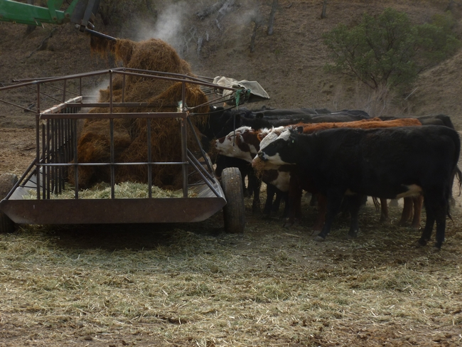 Cows attacking rice strawlage as tractor drops into feeder