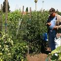 Jerry Ligsay grows 14 varieties of tomatoes in a community garden in San Jose. A UC study shows vegetables can be grown in community gardens at a lower cost than buying from a store.
