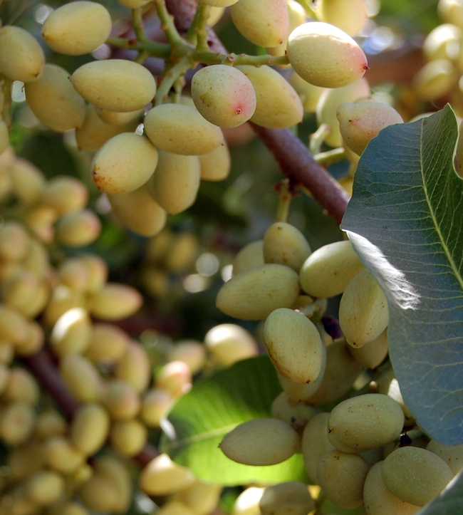 The UC Fruit and Nut Research and Information Center and UC Cooperative Extension offer a three-day course in pistachio production.