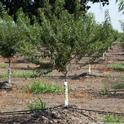 Using microirrigation to grow almonds, growers have improved water use efficiency.