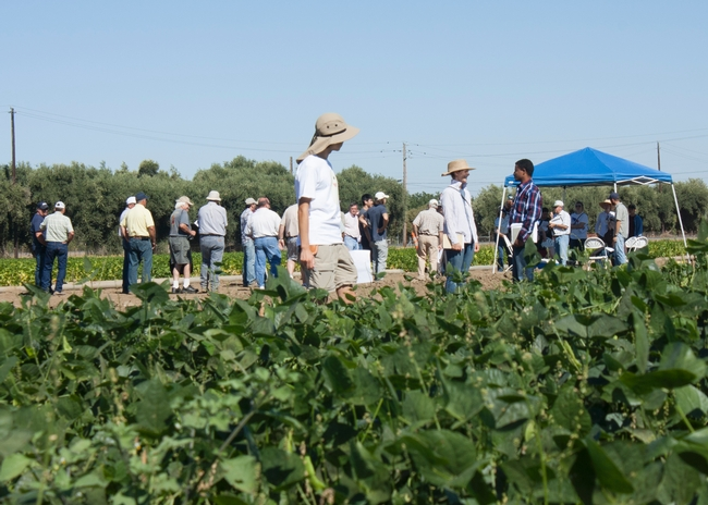 These dry bean varieties are tested for yield, drought tolerance, pest and disease resistance by UC Davis graduate student Sarah Dohle and UC Davis professor Paul Gepts.