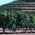 Wine grape growers can discuss vineyard nutrient management in online forum.