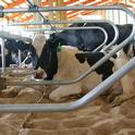 Comfortable dairy cows will lie down 14 hours a day. (Photo: The Dairyland Initiative, U. of Wisc.)