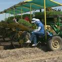 Planting processing tomatoes on a West Side San Joaquin Valley farm.