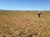 Drought strategies are available for growing alfalfa and other crops.