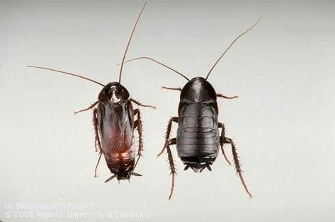 Adult male and female oriental cockroaches. Photo by UC IPM