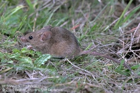 Adult house mouse. Photo by UC IPM