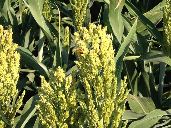 Scientists hope to learn the secrets to the sorghum plant's tolerance to drought. Shown here is a bee visiting a sorghum flower. (Photo: Peggy Lemaux)