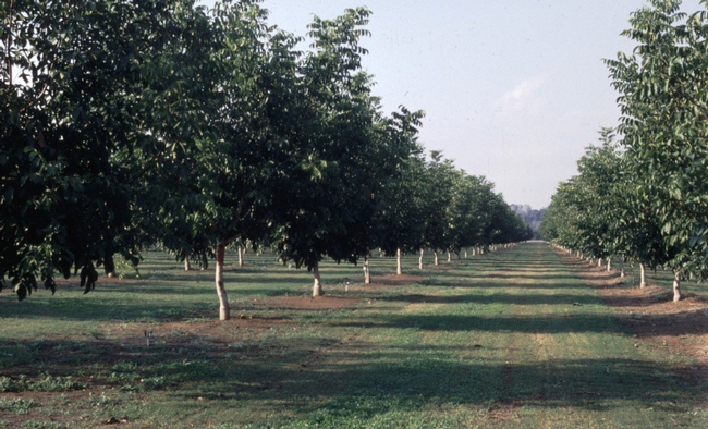 This cost study focuses on establishing a walnut orchard in the Sacramento Valley
