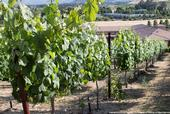 This vineyard is irrigated with recycled water.