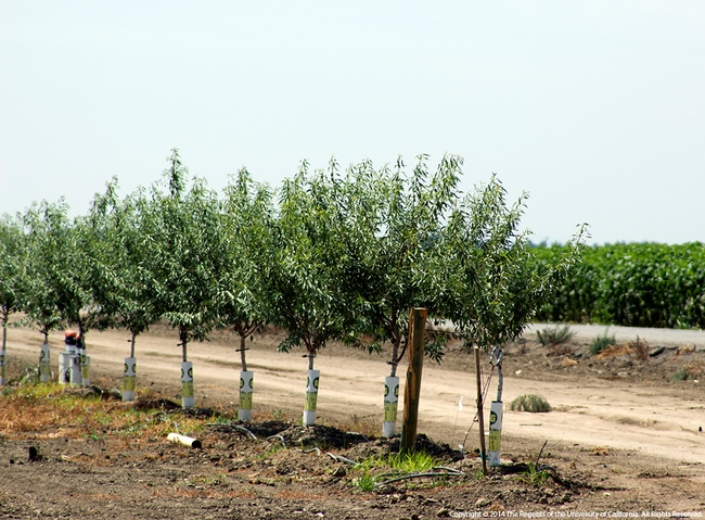 This young almond orchard uses drip irrigation.