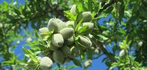 Almonds growing on the tree. for ANR news releases Blog