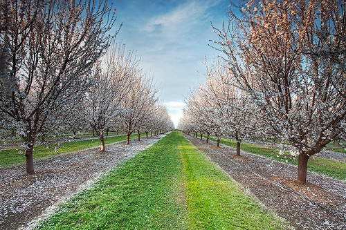 Almond orchard in bloom.