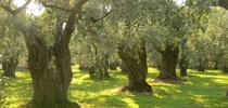 A new cost study focuses on producing table olives with the Manzanillo variety for ANR news releases Blog