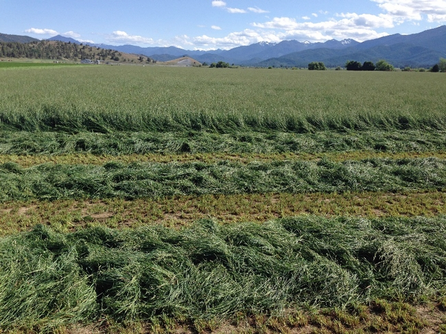 Orchardgrass is grown in the Intermountain Region.