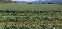 Orchardgrass is grown in the Intermountain Region. for ANR news releases Blog