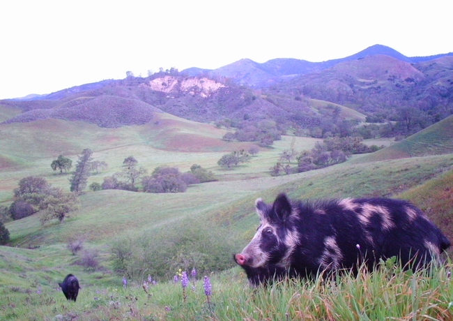 A wild pig at Sedgewick Reserve, which is part of the UC Natural Reserve System. Wild pigs can spread disease to people, pets and livestock.