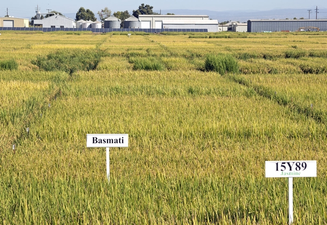 Rice variety trials at the Rice Research Station in Biggs, Calif.