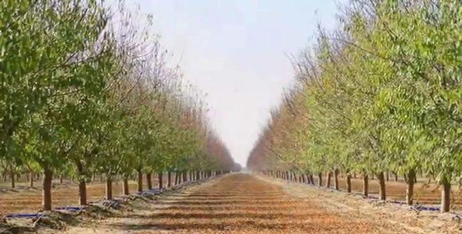SSJV almond orchard