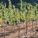 Cost estimates for growing pinot noir and chardonnay grapes in the Russian River Valley are now available.