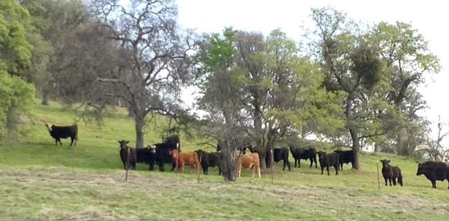 SFREC cows