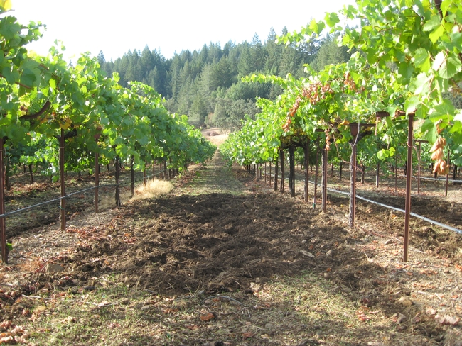 Disturbed soil shows signs of wild pig activity in this vineyard. Photo by Roger Baldwin