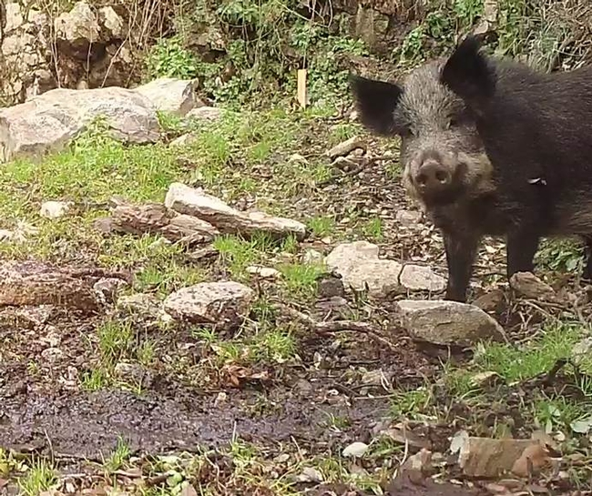 UC Cooperative Extension scientists are trying to learn more about wild pig habitat and the sites they are more likely to damage.