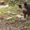 Wild pigs use wetlands and riparian resources for foraging and wallowing. UC Cooperative Extension scientists are trying to learn more about wild pig habitat and the sites the pigs are more likely to damage.