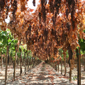 Grapes shown drying on the vine in an overhead trellis system.