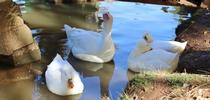 Migrating wild birds may expose backyard ducks to disease. for ANR news releases Blog