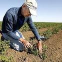 Gene Miyao examines a transplanted tomato plant. Photo courtesy of Davis Enterprise