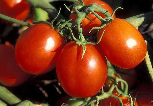 UC Agricultural Issues Center has updated its estimated costs of producing transplanted processing tomatoes under subsurface drip irrigation in the Sacramento Valley.