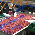 Sweet cherries are among the agricultural industries expected to experience economic losses due to new trade tariffs, according to a UC Agricultural Issues Center report. In 2016-17, $145 million of sweet cherries were exported to China and Hong Kong.