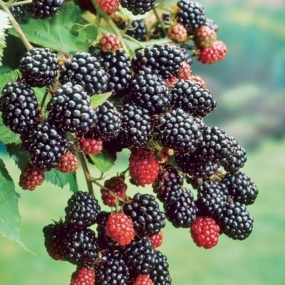 Primocane-bearing blackberries produce berries in the first year, extending fruiting season.