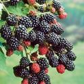 Primocane-bearing blackberries produce berries in the first year, extending fruiting season.