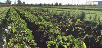 At the Good Agriculture Neighbors Workshop, participants will discuss how to assure the safety of fresh produce grown outdoors in the vicinity of livestock and wildlife like this field of leafy greens grown at UC Desert Research and Extension Center. for ANR news releases Blog