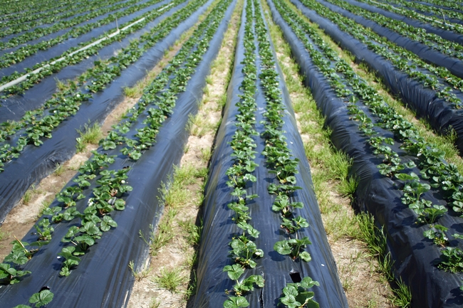 """Weed management is especially challenging for organic strawberry production because soil fumigation and most herbicides are not allowed under organic regulations,"" said Mark Bolda, a co-author of the organic strawberry cost study."