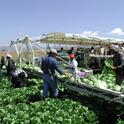 Romaine harvest. In the romaine and strawberry cost studies, the authors have also expanded the section on labor, which includes information on California's minimum wage and overtime laws.