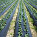 The California Organic Institute will accelerate the development and adoption of effective tools and practices for organic farmers and those transitioning to organic farming. Organic strawberries pictured. Photo by Mark Bolda