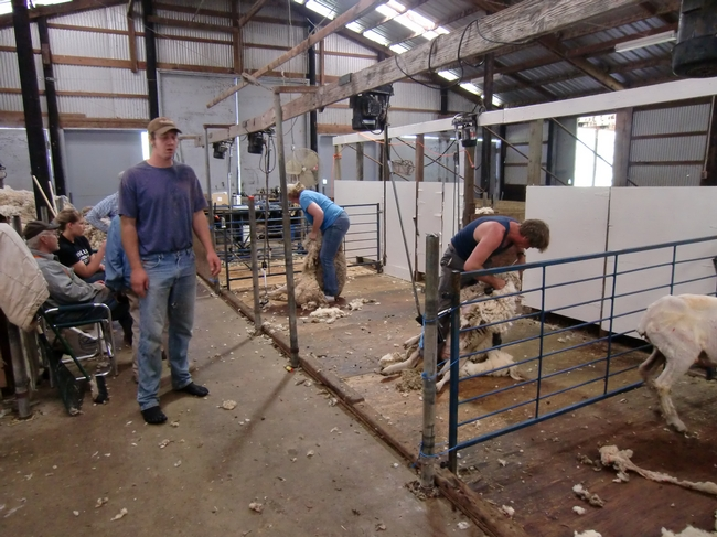 Sheep shearing class at the UC Hopland Research and Extension Center in 2010. An online Q&A session will be held this year due to COVID-19 restrictions on in-person meetings.