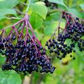 Elderberries are a new crop that SAREP academic coordinator Sonja Brodt has been studying to develop recommendations for best production practices.