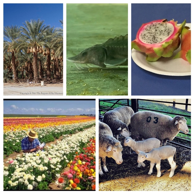 Additional commodities are covered by the Coronavirus Food Assistance Program. Clockwise from top left, dates (photo by Donald Hodel), white sturgeon fingerling (photo by Nathan T Kaufman), dragon fruit, sheep and nursery crops.