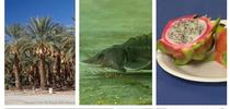 Additional commodities are covered by the Coronavirus Food Assistance Program. Clockwise from top left, dates (photo by Donald Hodel), white sturgeon fingerling (photo by Nathan T Kaufman), dragon fruit, sheep and nursery crops. for ANR news releases Blog