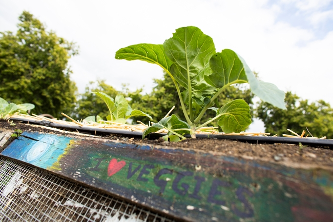 Close up of a leafy, green vegetable on a raised bed. A 2 by 4 piece of wood with