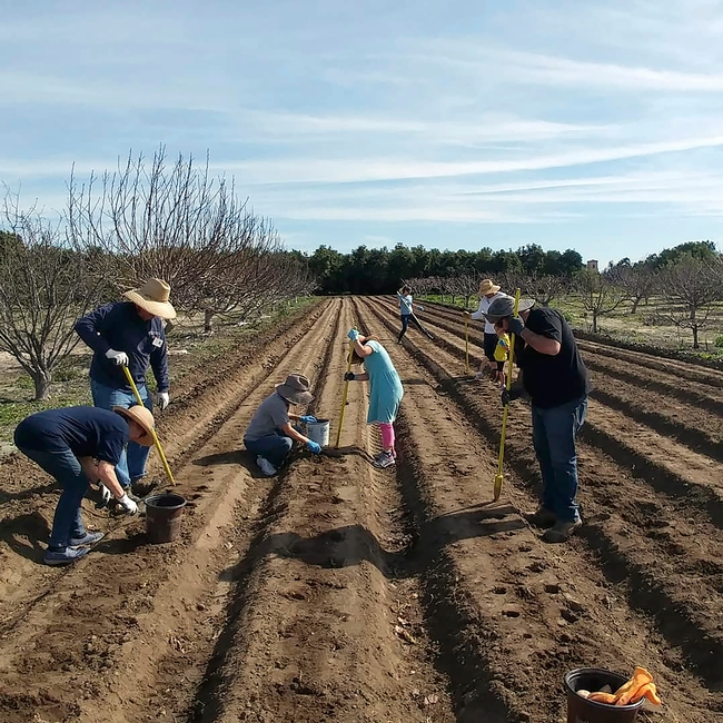 The state's increased investment in UC ANR will allow hiring of more county-based UC Cooperative Extension personnel. A family plants a test plot of potatoes.