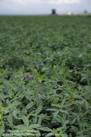 alfalfa2