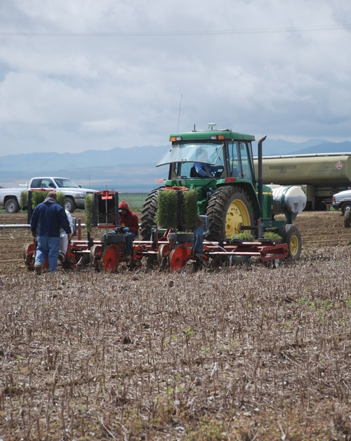 No-till transplanting the 2011 tomato crop at the University of California West Side Research and Extension Center.
