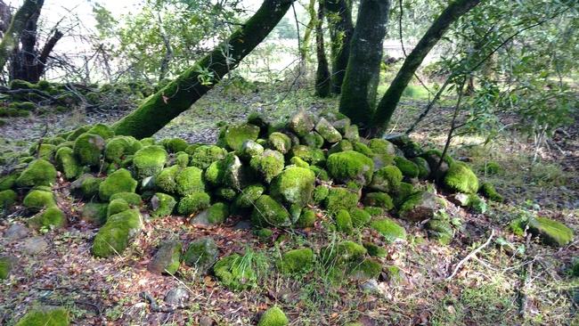 Ancient rock wall in oak woodland